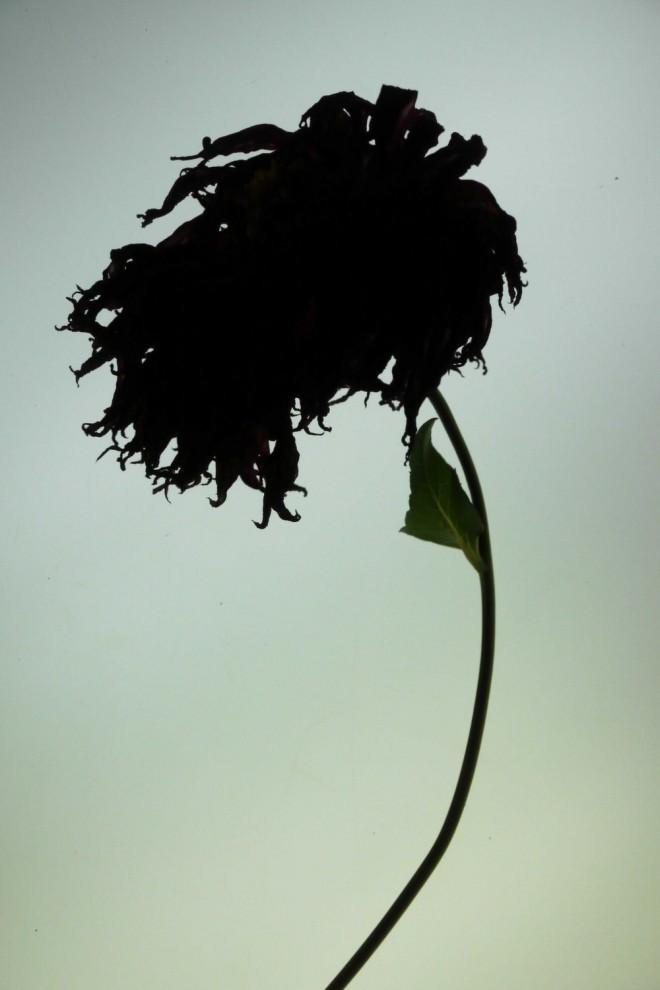 Jorge Santos, Backlight Dahlias -- Dans le jardin où l'automne s'attarde, tirages jet d'encre, 60 x 40 cm, 2012.